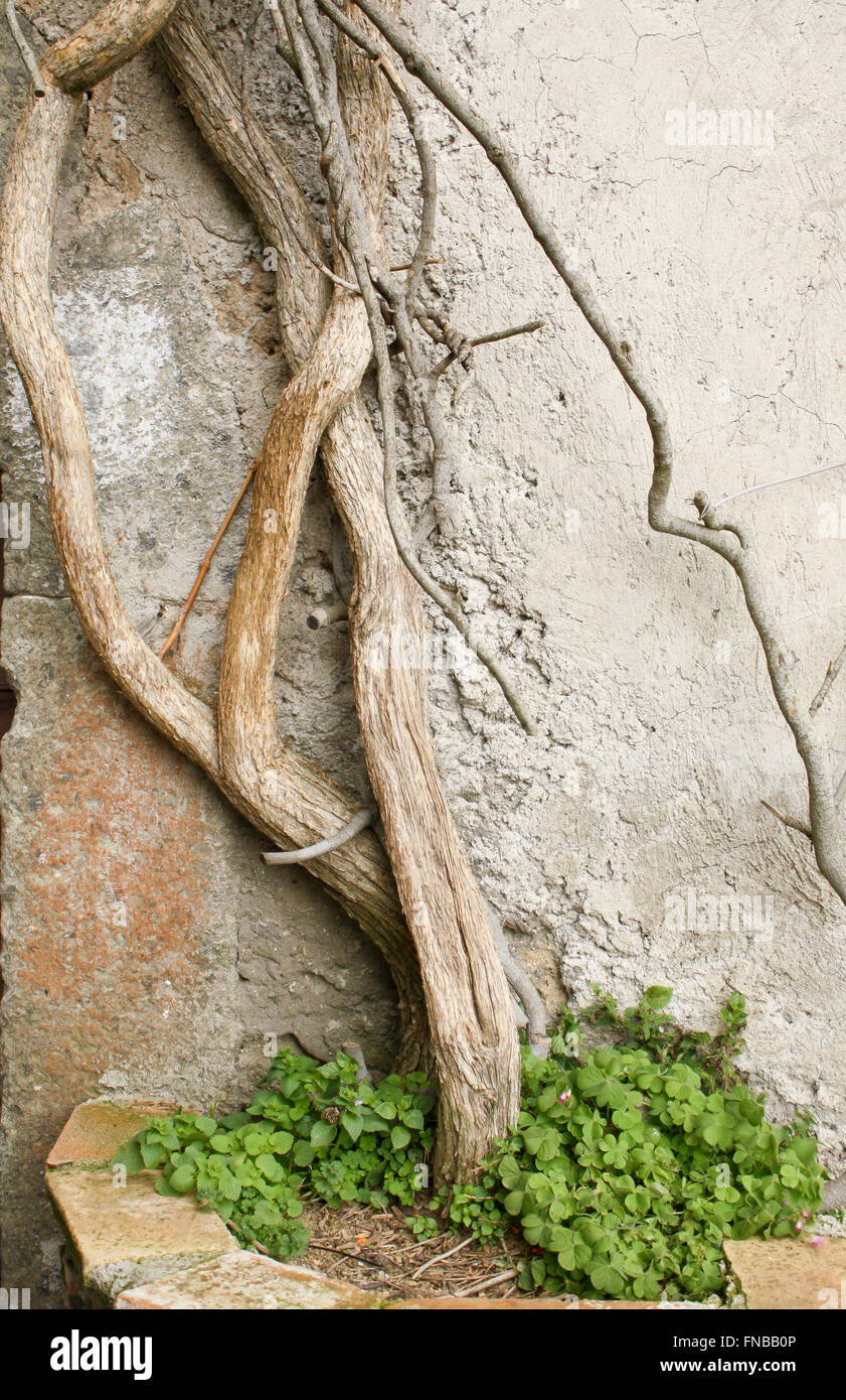 Creeper trunk in a jar with clovers - Stock Image