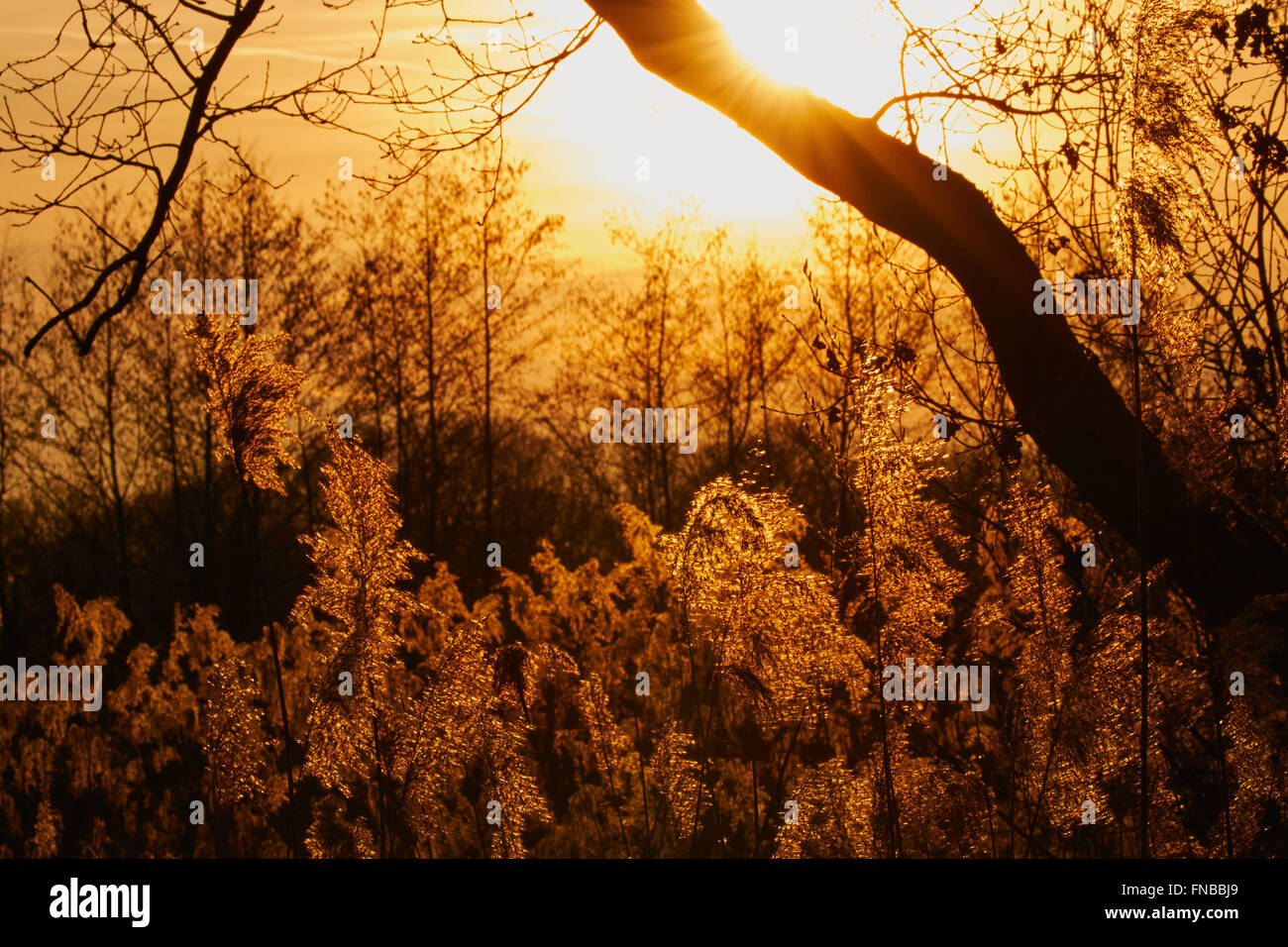 Sunset with trees and reeds in silhouette, the sunlight shining in the plumes - Stock Image