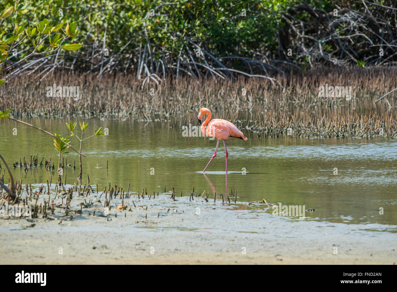 Rose Flamingo on Bonaire, Bonaire is one of the few breeding grounds in the world for these Birds. - Stock Image