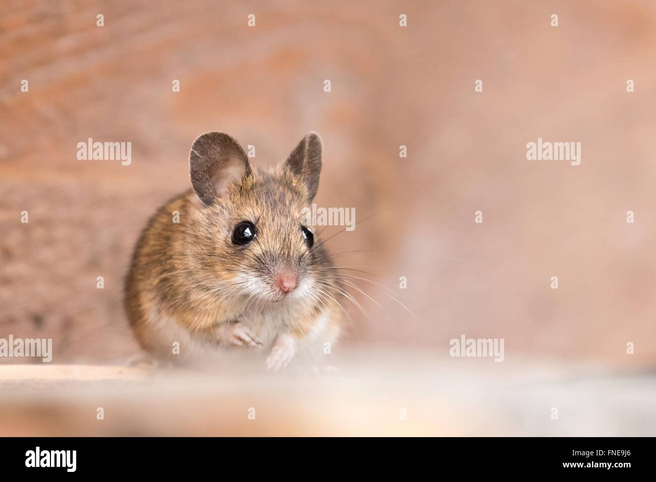 House mouse (Mus musculus), portrait, Hesse, Germany - Stock Image