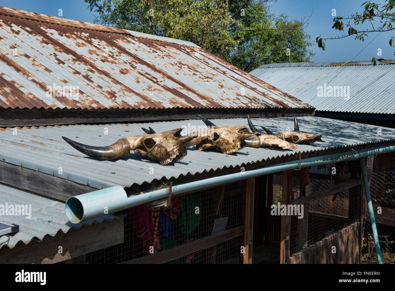 Water buffalo skulls on the roof, local belief in Mindat, Chin State, Myanmar - Stock Image