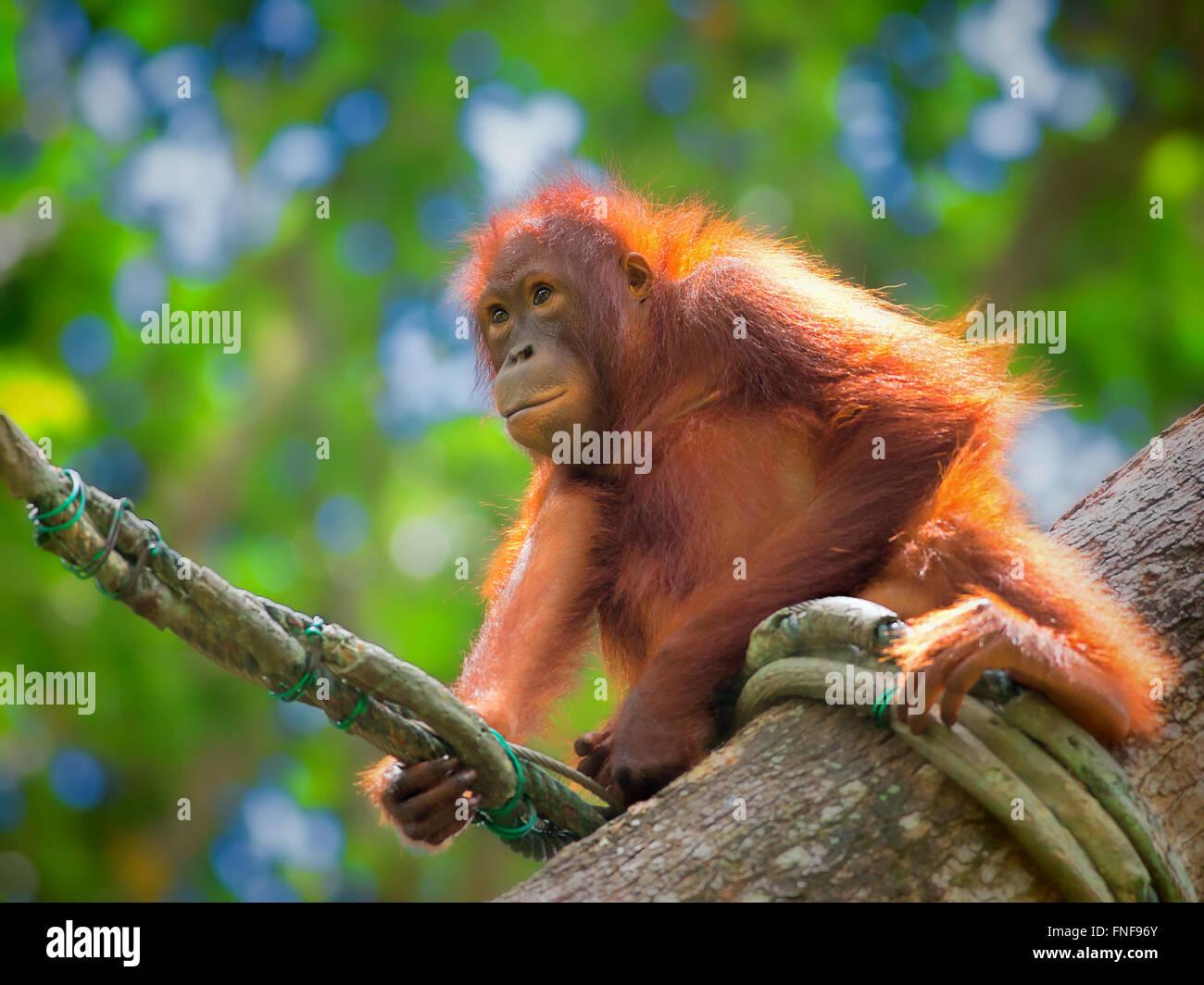 Wild Borneo Orangutan Stock Photo