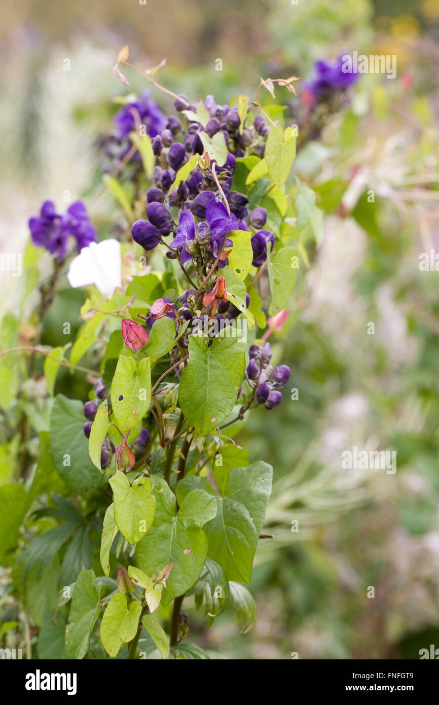 Bindweed growing around Aconitum in an herbaceous border. - Stock Image