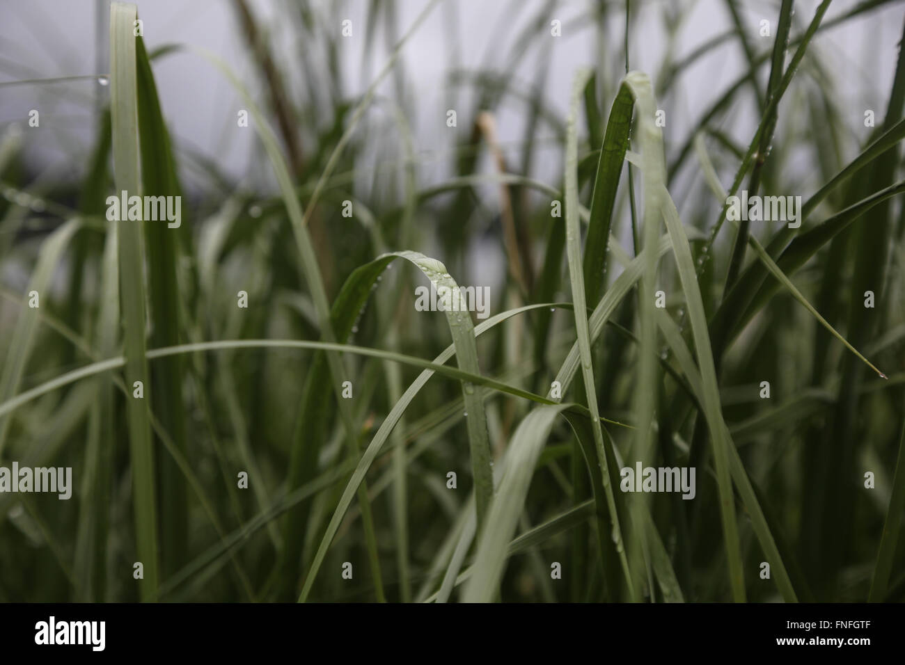 Early morning dew on Grass Blades - Stock Image