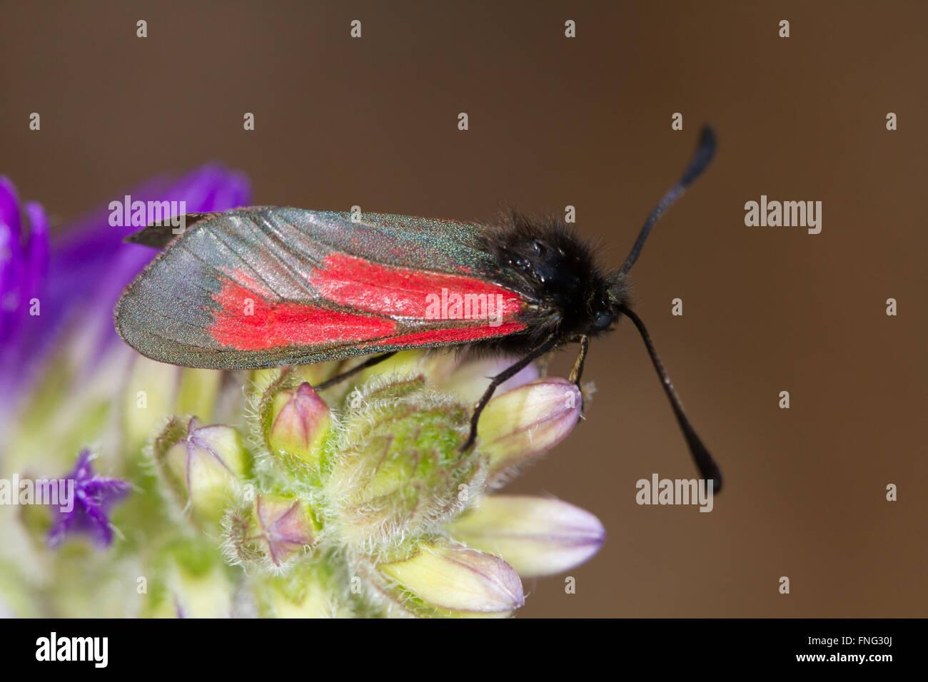 Transparent Burnet (Zygaena purpuralis) resting on a flower buds Stock Photo