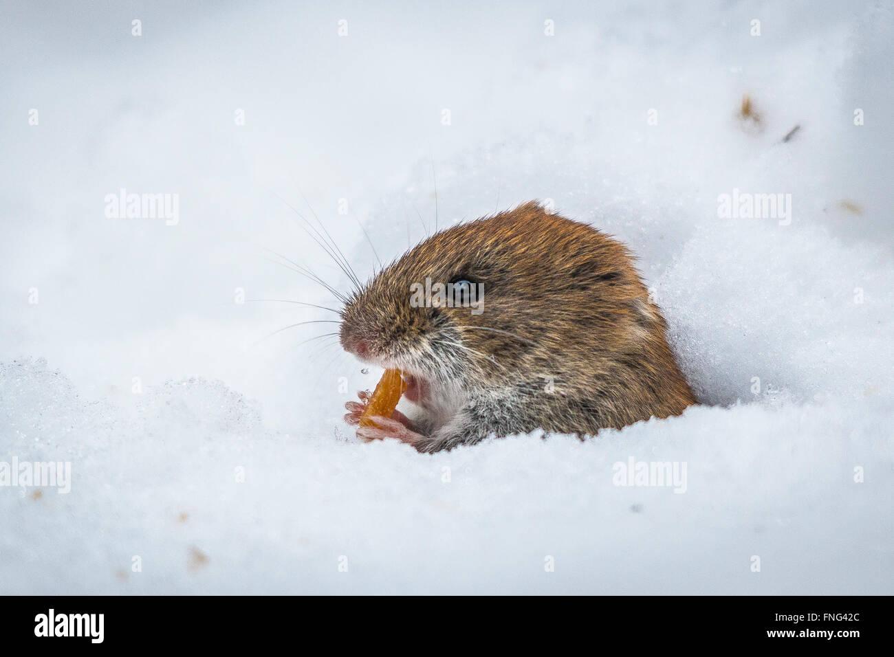 Bank vole (Myodes glareolus) - Stock Image