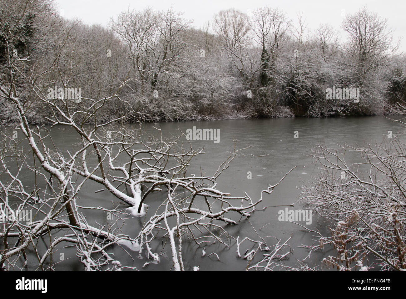 Snow-covered fallen tree at the edge of a reclaimed gravel pit, Attenborough Nature Reserve, Notts, UK Stock Photo