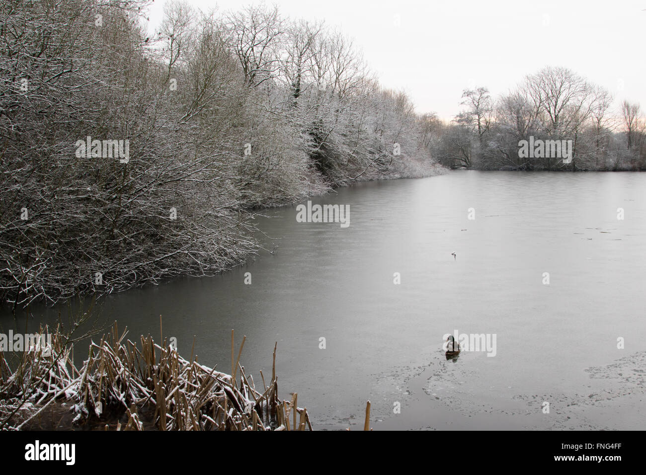 Mallard breaking through ice on a frozen over tree-lined, former gravel pit, Attenborough Nature Reserve, Nottinghamshire, - Stock Image