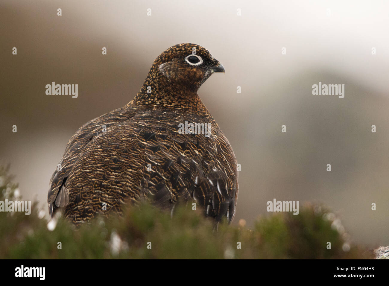 female Red Grouse (Lagopus lagopus scotica) sitting in heather - Stock Image