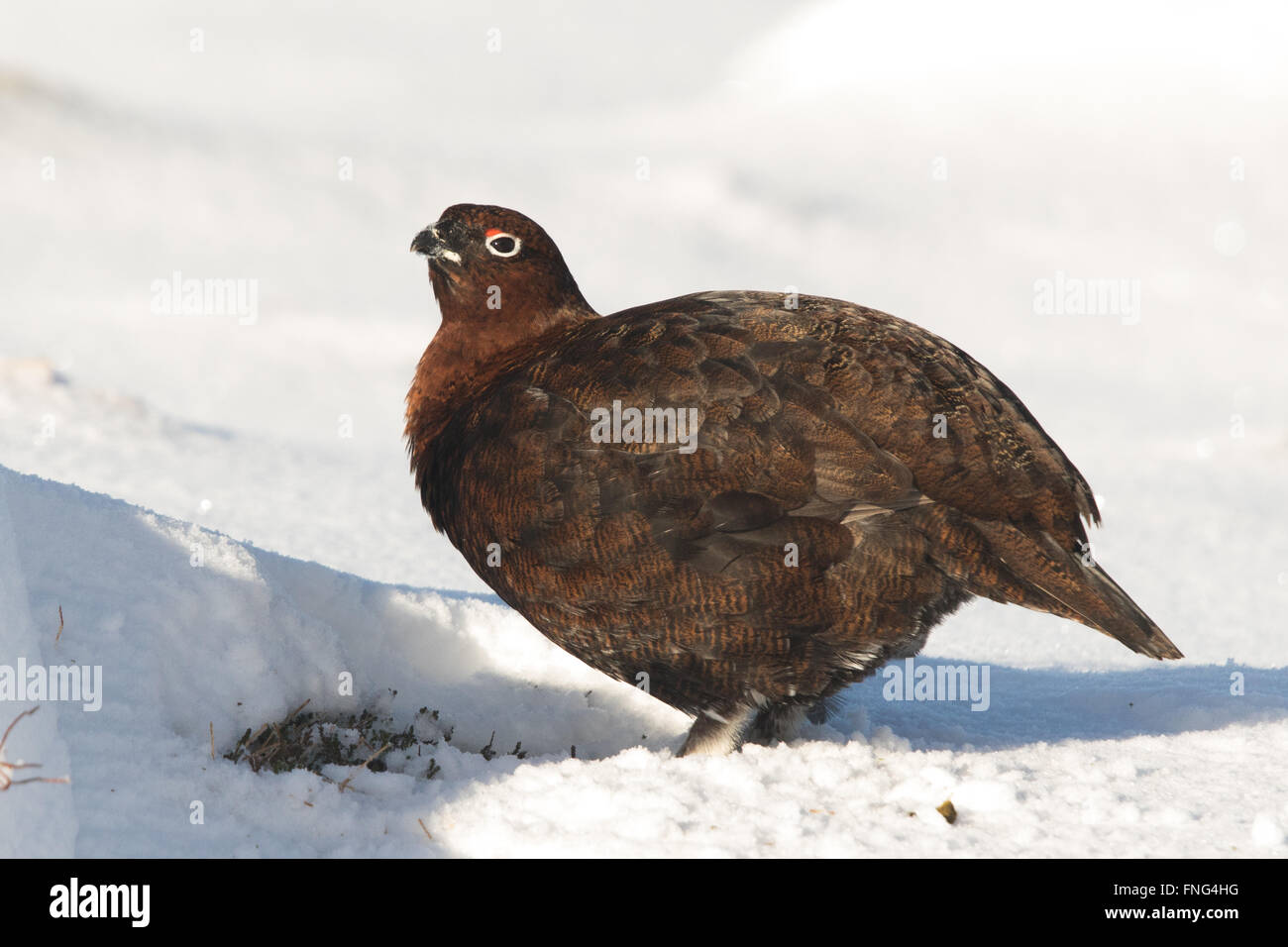 male Red Grouse (Lagopus lagopus scotica) standing in the snow - Stock Image
