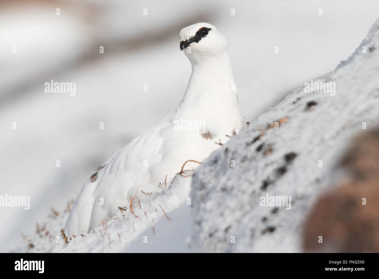 beautifully camouflaged female Rock Ptarmigan (Lagopus mutans) sitting in the snow on a steep mountain slope - Stock Image