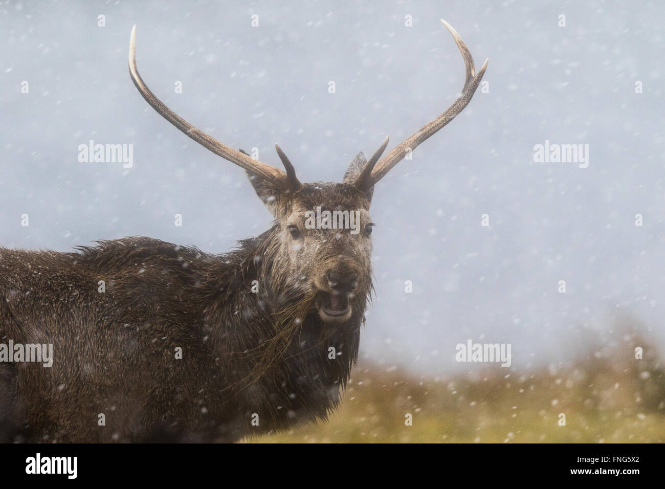 Red Deer (Cervus elaphus) stag eating dead grass in a snowstorm - Stock Image