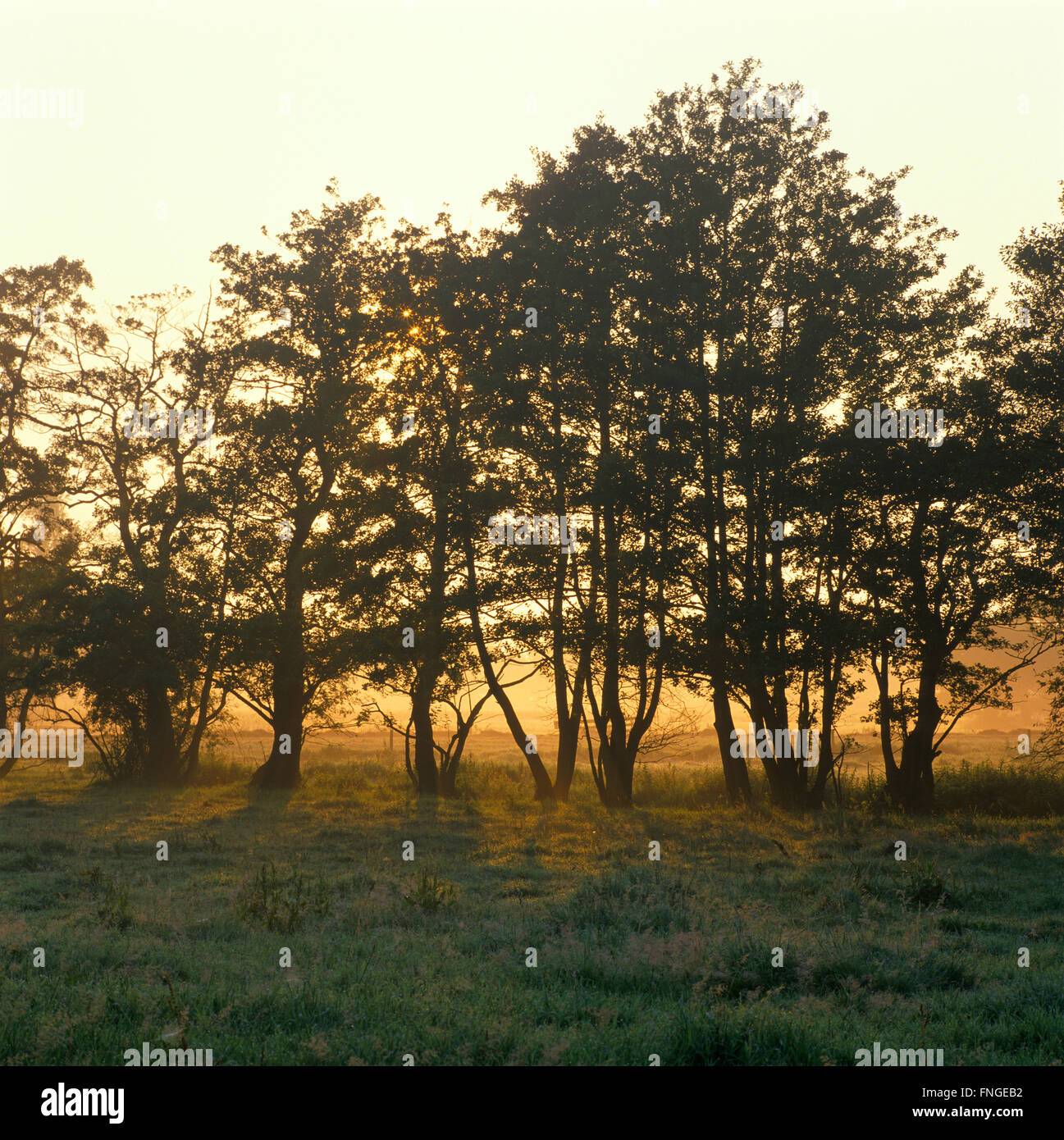 Holland, landscape with trees at dawn - Stock Image