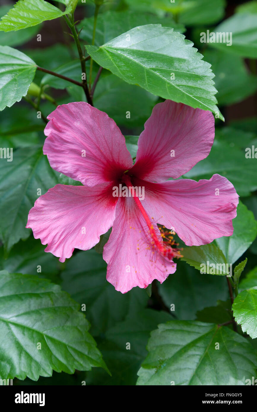 Edible hibiscus flower stock photos edible hibiscus flower stock pink hibiscus flower stock image izmirmasajfo