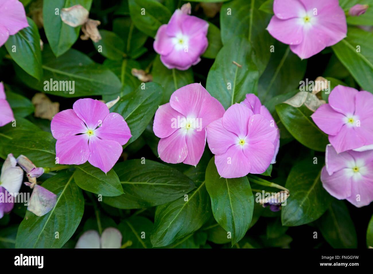 Pink periwinkle flowers stock photo 99324173 alamy pink periwinkle flowers mightylinksfo