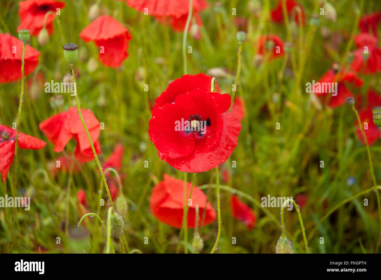 A single red poppy flower in the foreground in a field of wild red a single red poppy flower in the foreground in a field of wild red poppies and wildflowers mightylinksfo