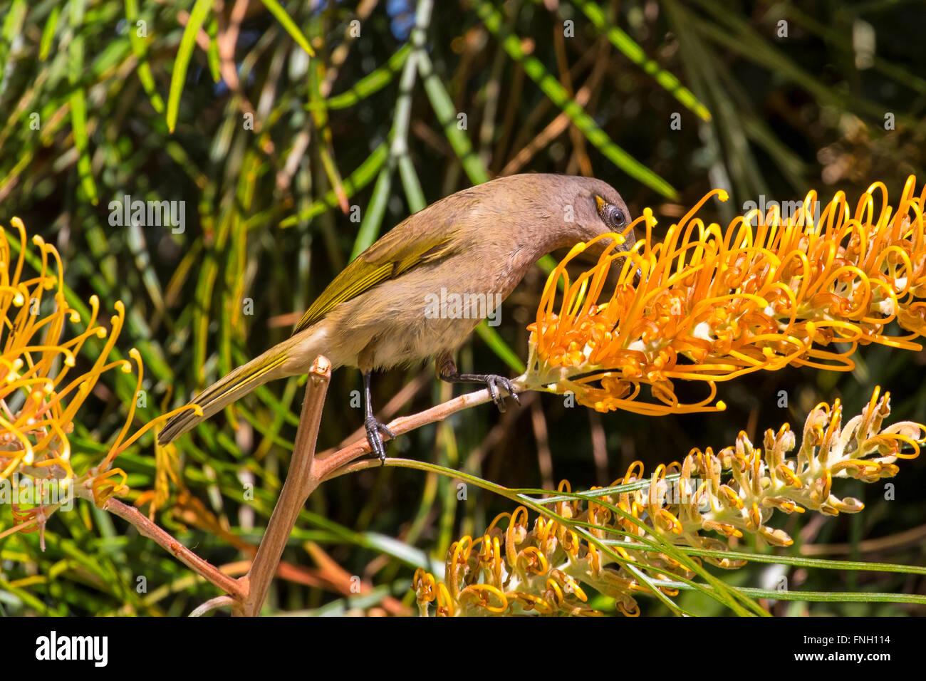 Brown, honeyeater feeding on nectar brisbane, queensland, australia - Stock Image