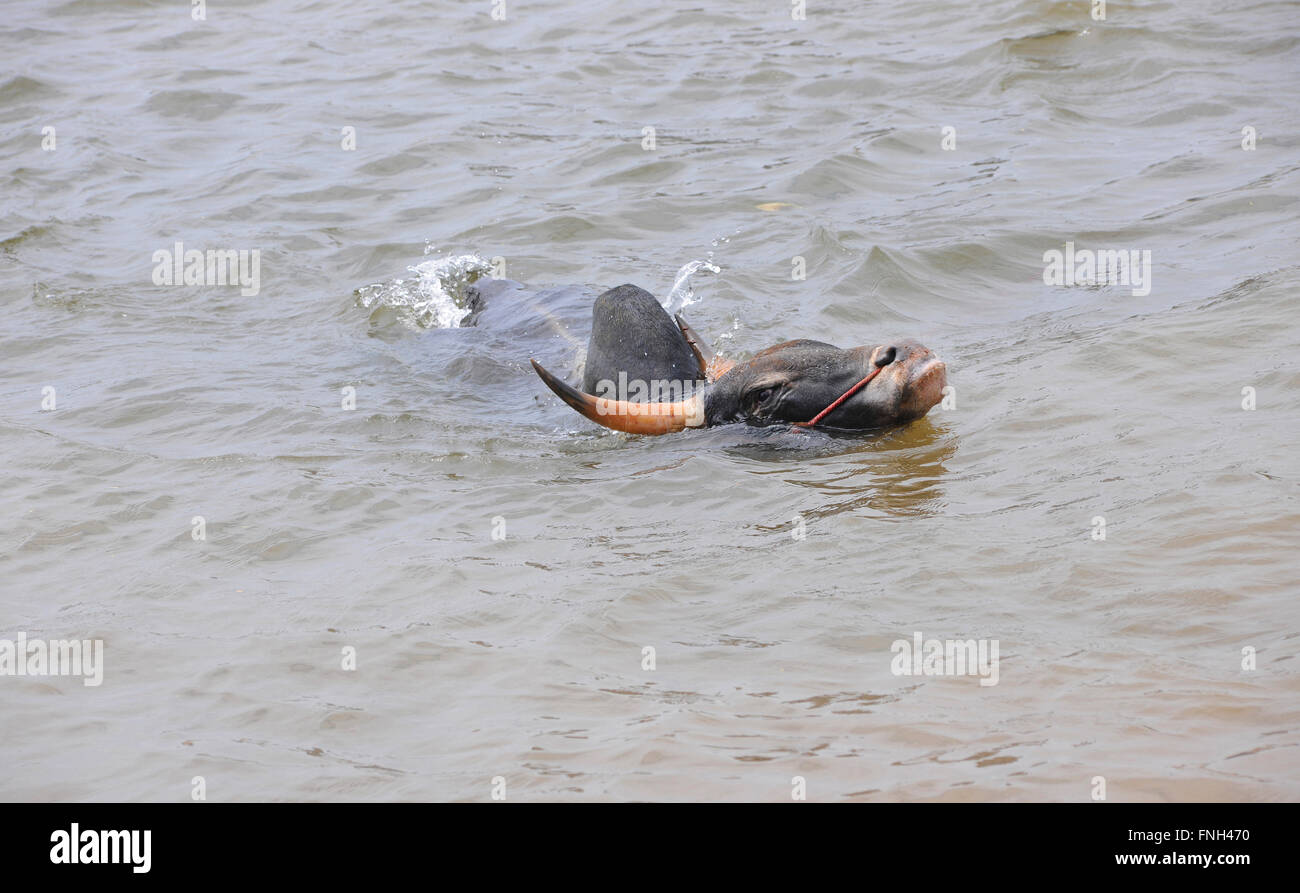 Jallikattu bull practice swimming as its strengthens its skill to attack the bull tamer with its hind legs,Madurai,Tamilnadu - Stock Image