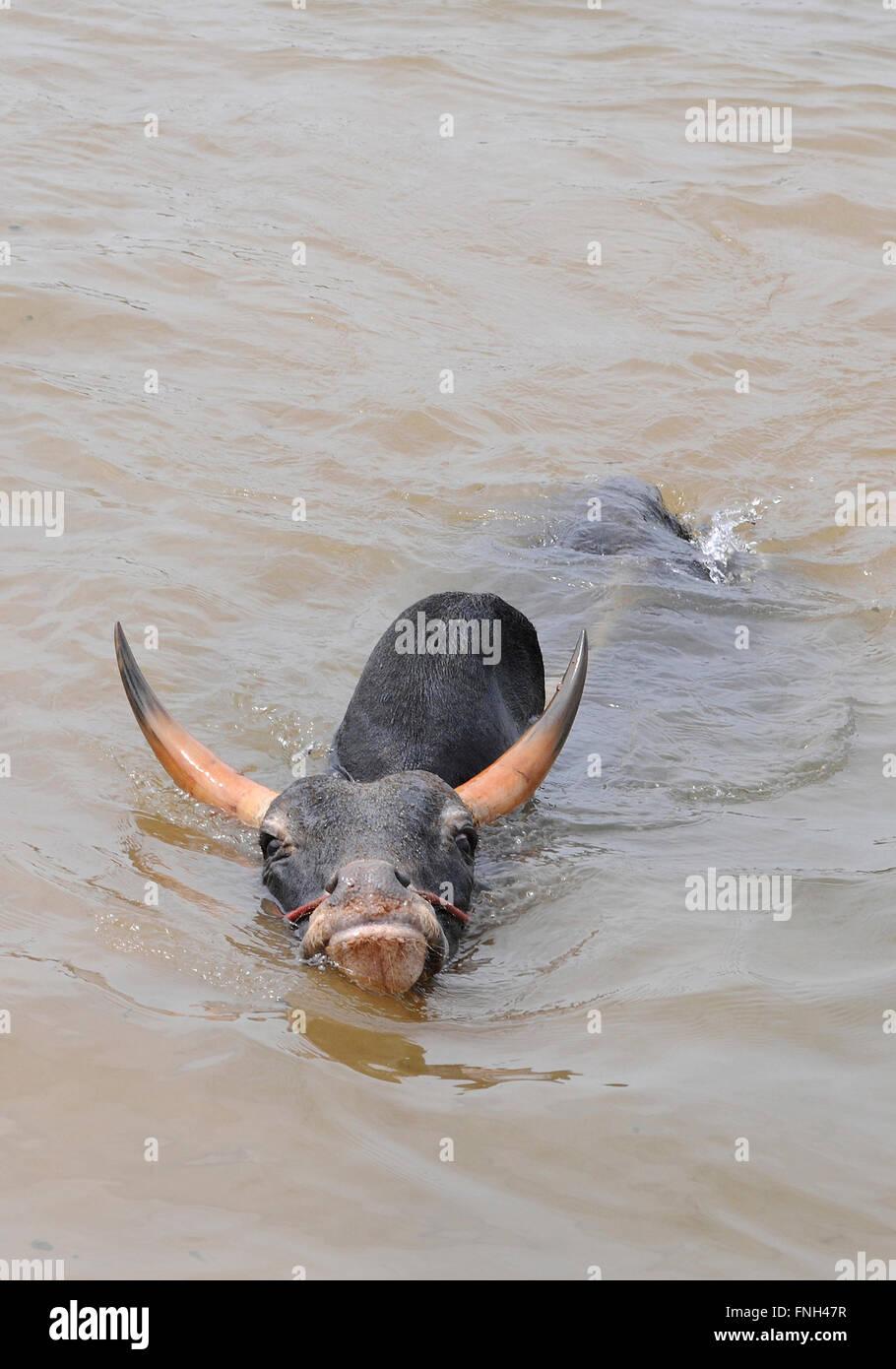 Jallikattu bull practice swimming as its strengthens its skill to attack the bull tamer with its hind legs,Madurai,Tamilnadu,TN - Stock Image