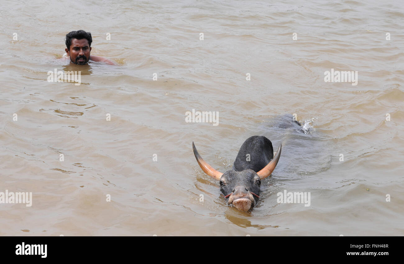 Jallikattu bull practice swimming as its strengthens its skill to attack the bull tamer with its hind legs Madurai, - Stock Image