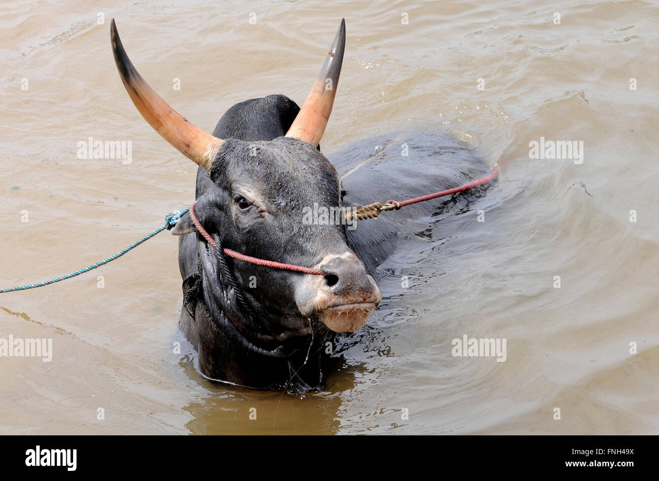 Portrait of a Jallikattu Bull.Bull taming sports is held in the villages of Tamil Nadu, India. As a part of the - Stock Image