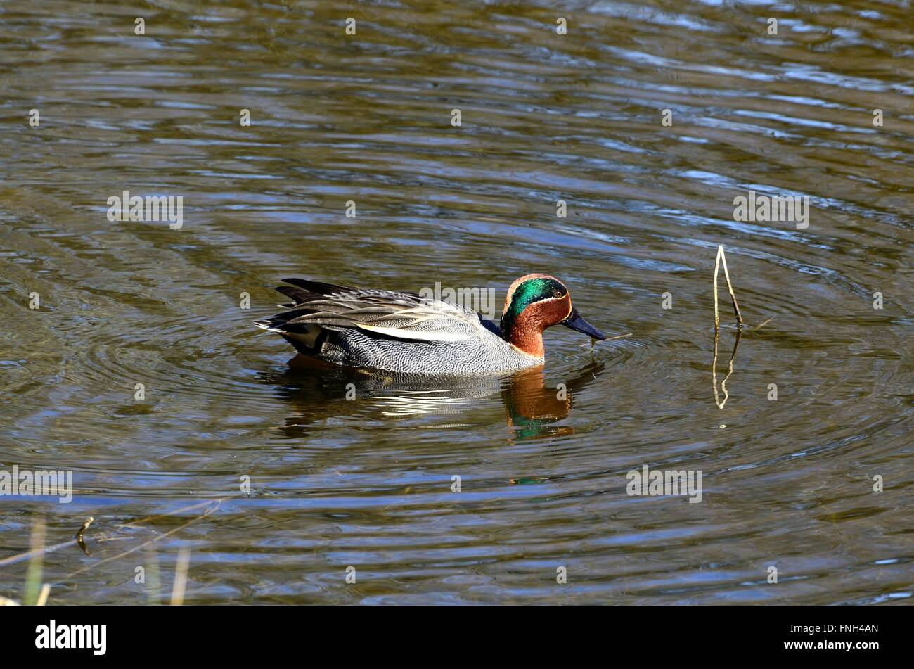 male teal Anas crecca swimming in ponds at Welsh Wildlife and Wetland Centre Cilgerran Cardigan Pembrokeshire Wales Stock Photo