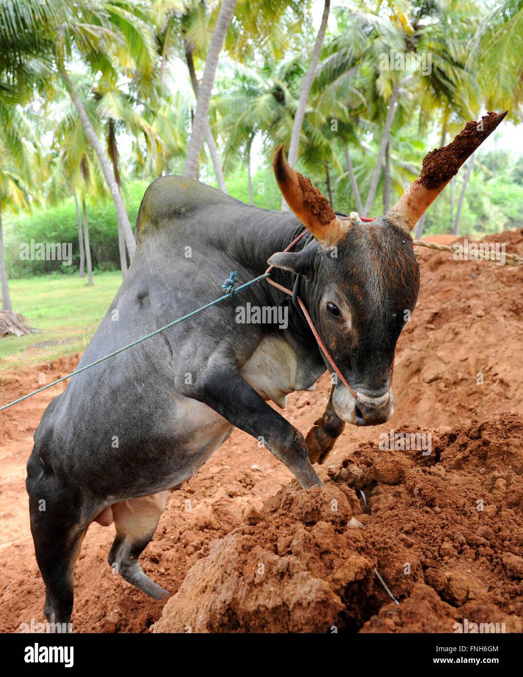 Ferocious jallikattu bull majestic hump sharp horns that are the hallmark of a jallikattu bull