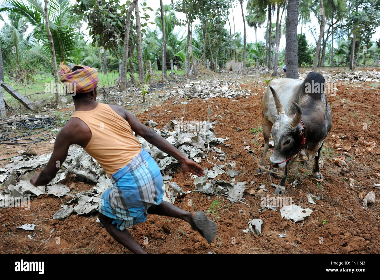 Ferocious bull Jallikattu bull and a Bull Tamer in a Tamilnadu village.Indian Bull Fight is banned last year.Madurai,Sivaganga - Stock Image