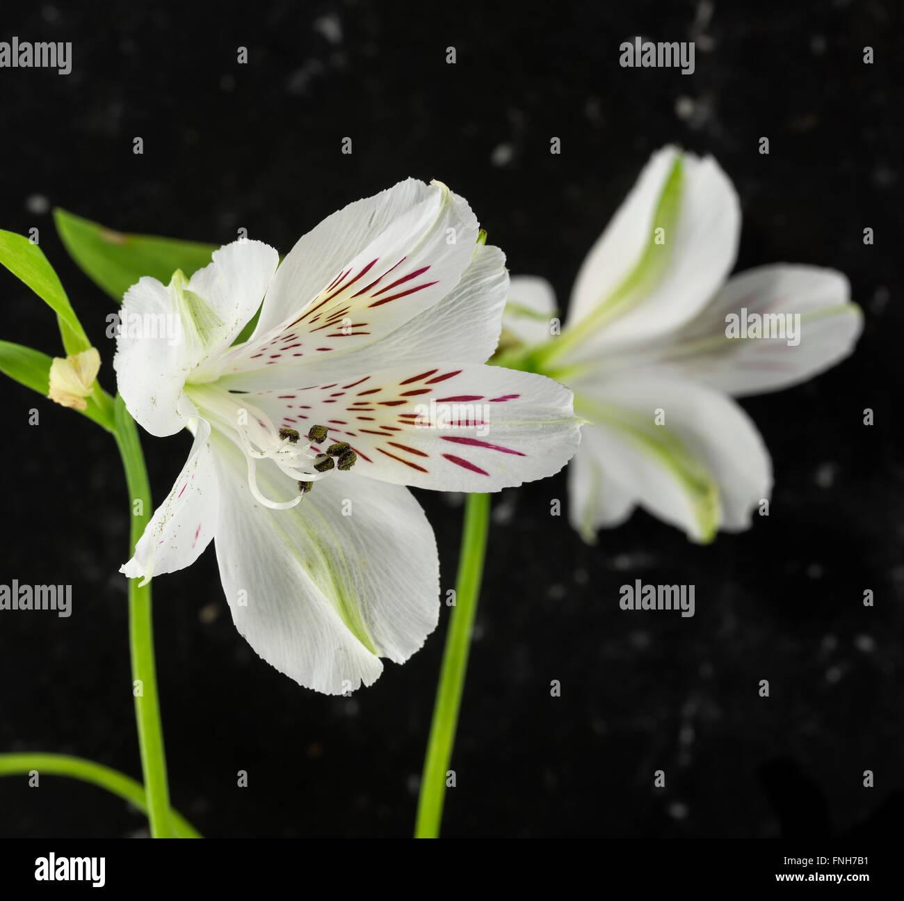 White alstroemeria flowers with black background stock photo white alstroemeria flowers with black background mightylinksfo
