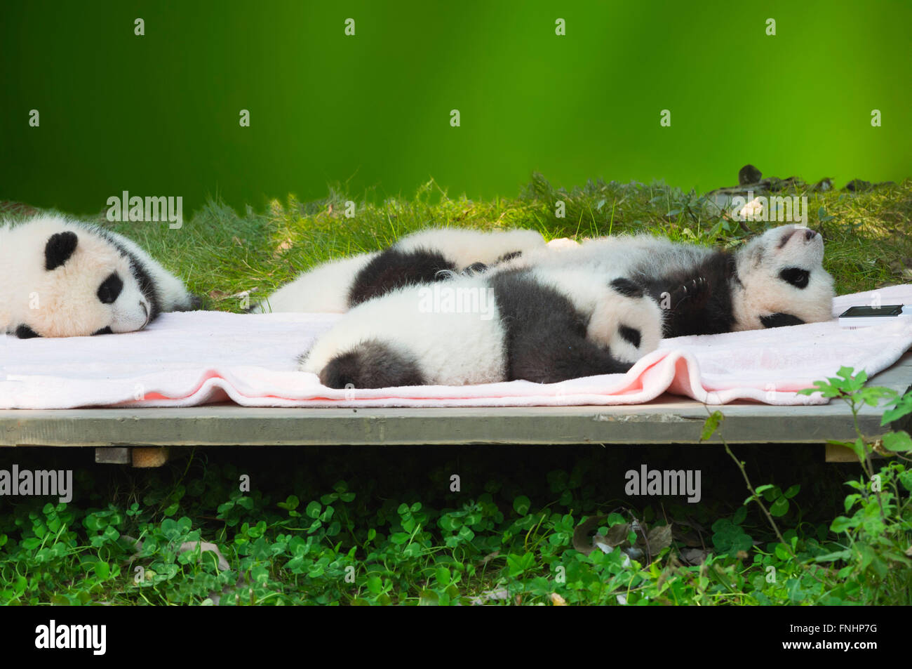 Baby Pandas (Ailuropoda melanoleuca) in the Chengdu Giant Panda Breeding Center China Conservation and Research Stock Photo