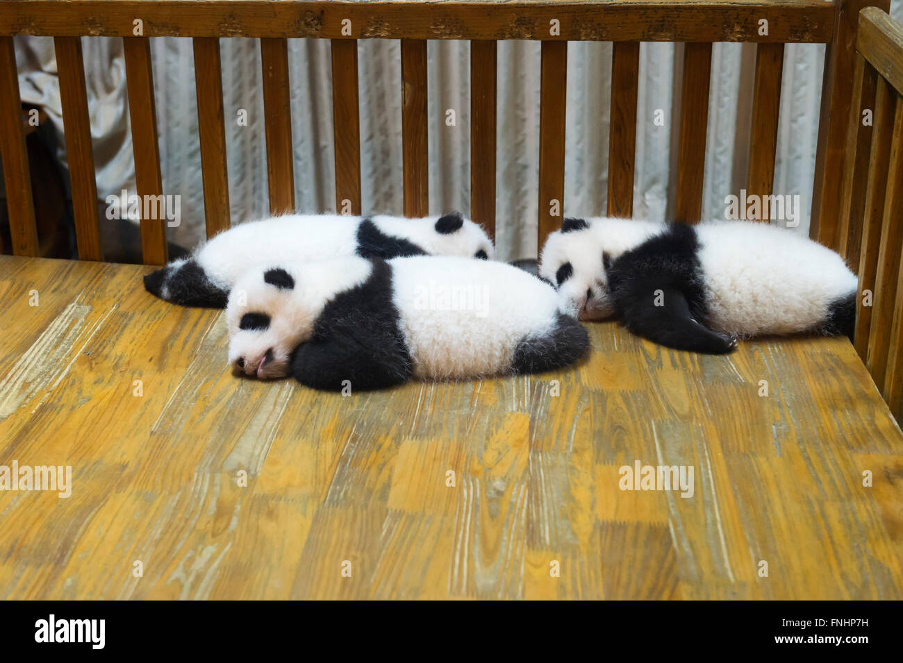 Baby Pandas (Ailuropoda melanoleuca) in the Chengdu Giant Panda Breeding Center China Conservation and Research - Stock Image