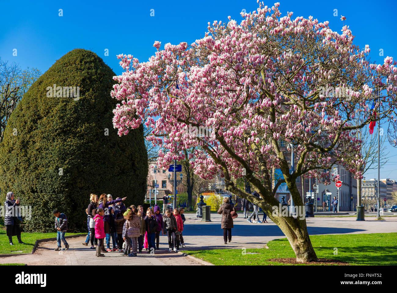 Blossoming magnolia tree, schoolchildren, Place de la République square, Strasbourg, Alsace, France - Stock Image