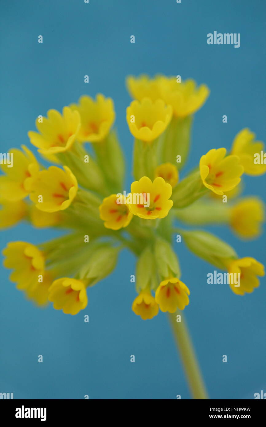 An English cowslip (primula veris) in full bloom in Derbyshire, UK Stock Photo