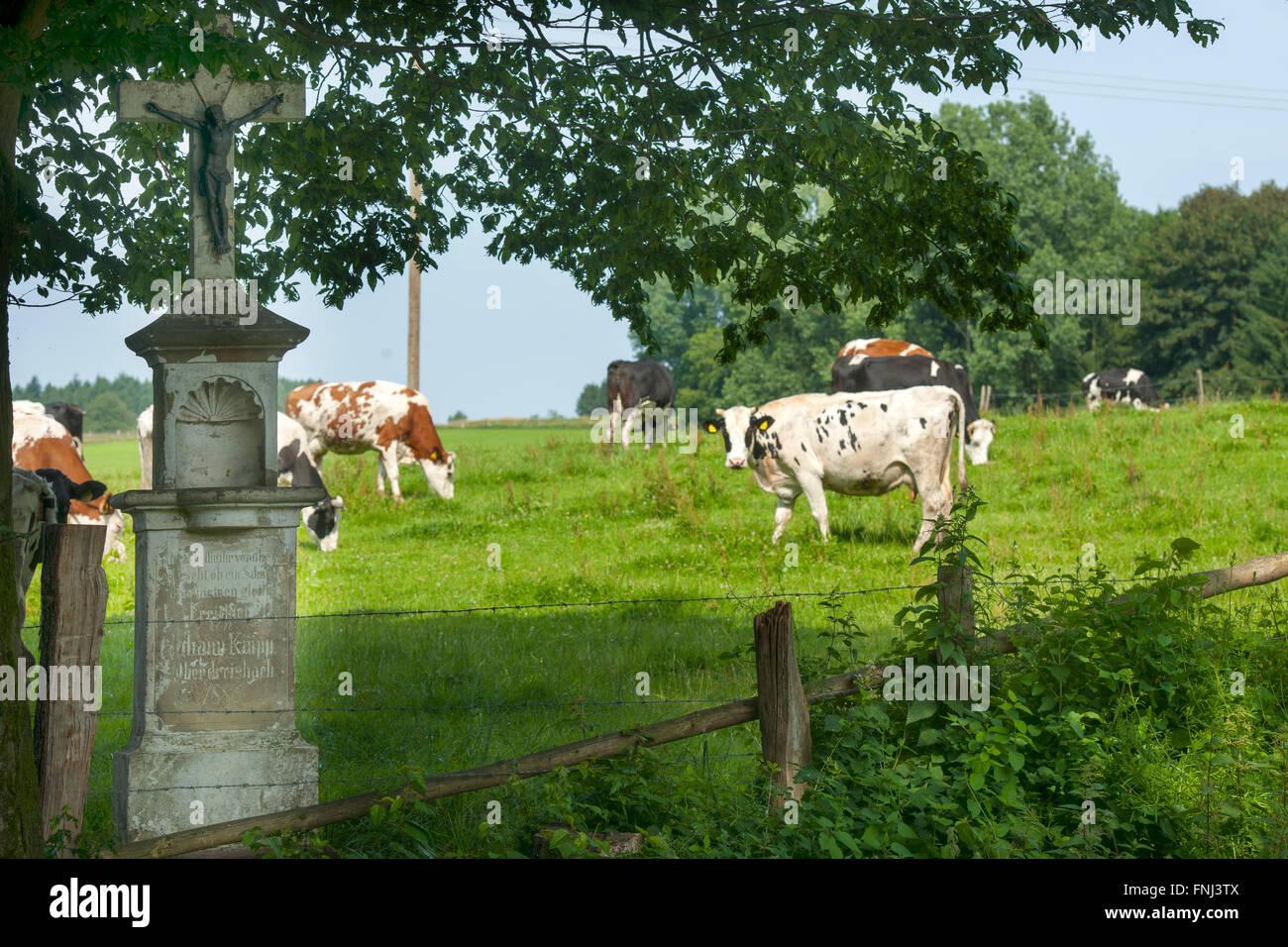 Deutschland, Nordrhein-Westfalen, Rhein-Sieg-Kreis, Much-Oberdreisbach, Kühe auf Weide am Ortsrand Stock Photo