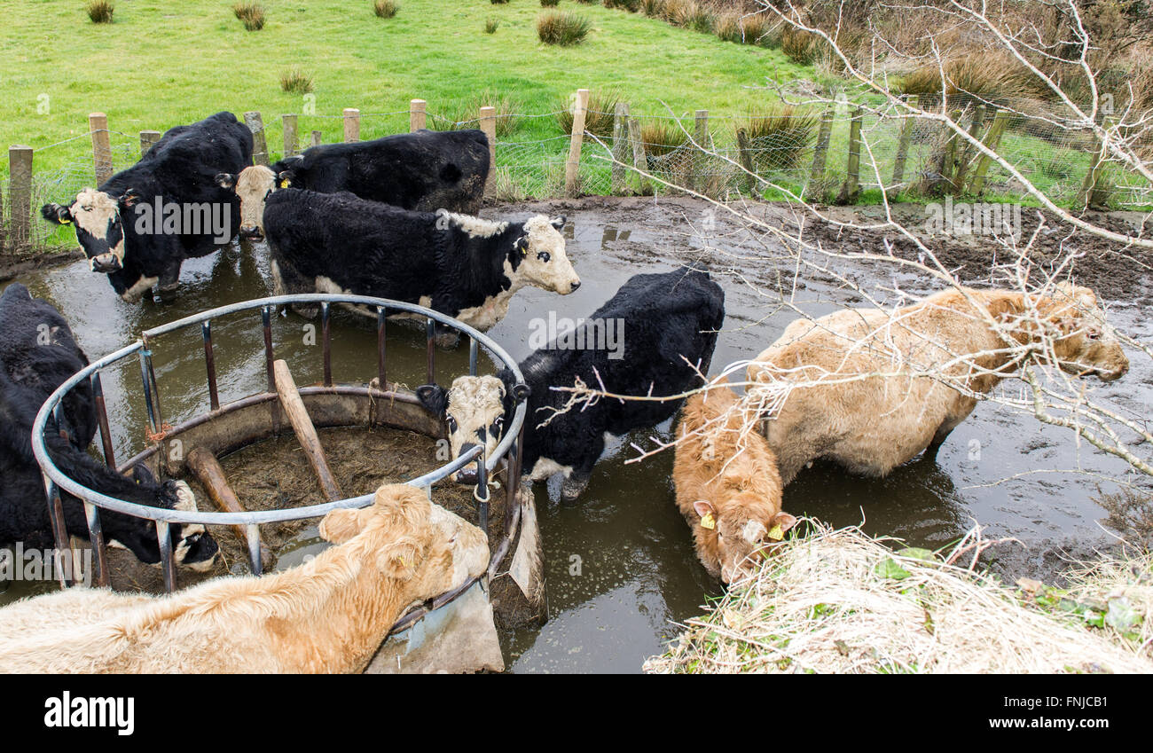 Small herd of neglected cows cattle are chest deep in their own faeces - Stock Image
