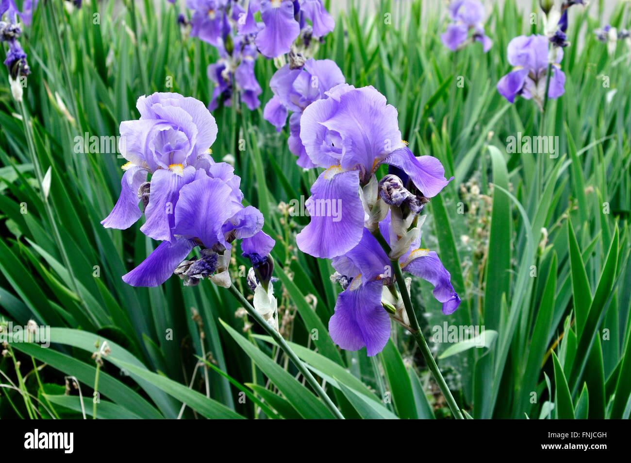 Iris flower garden stock photos iris flower garden stock images italy lombardy garden iris flower stock image izmirmasajfo