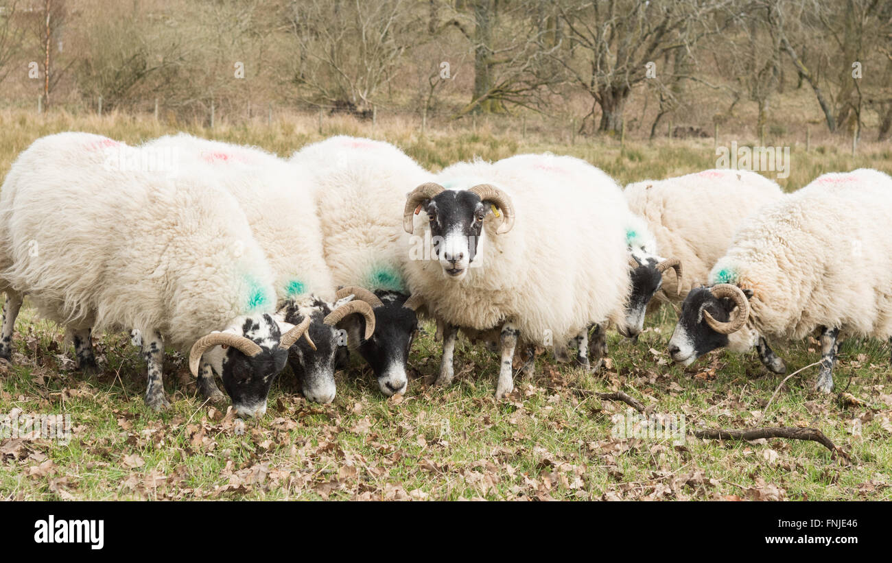Stirlingshire, Scotland, UK - 15 March 2016: farmer supplementary feeding with pellets a flock of ewes pregnant - Stock Image