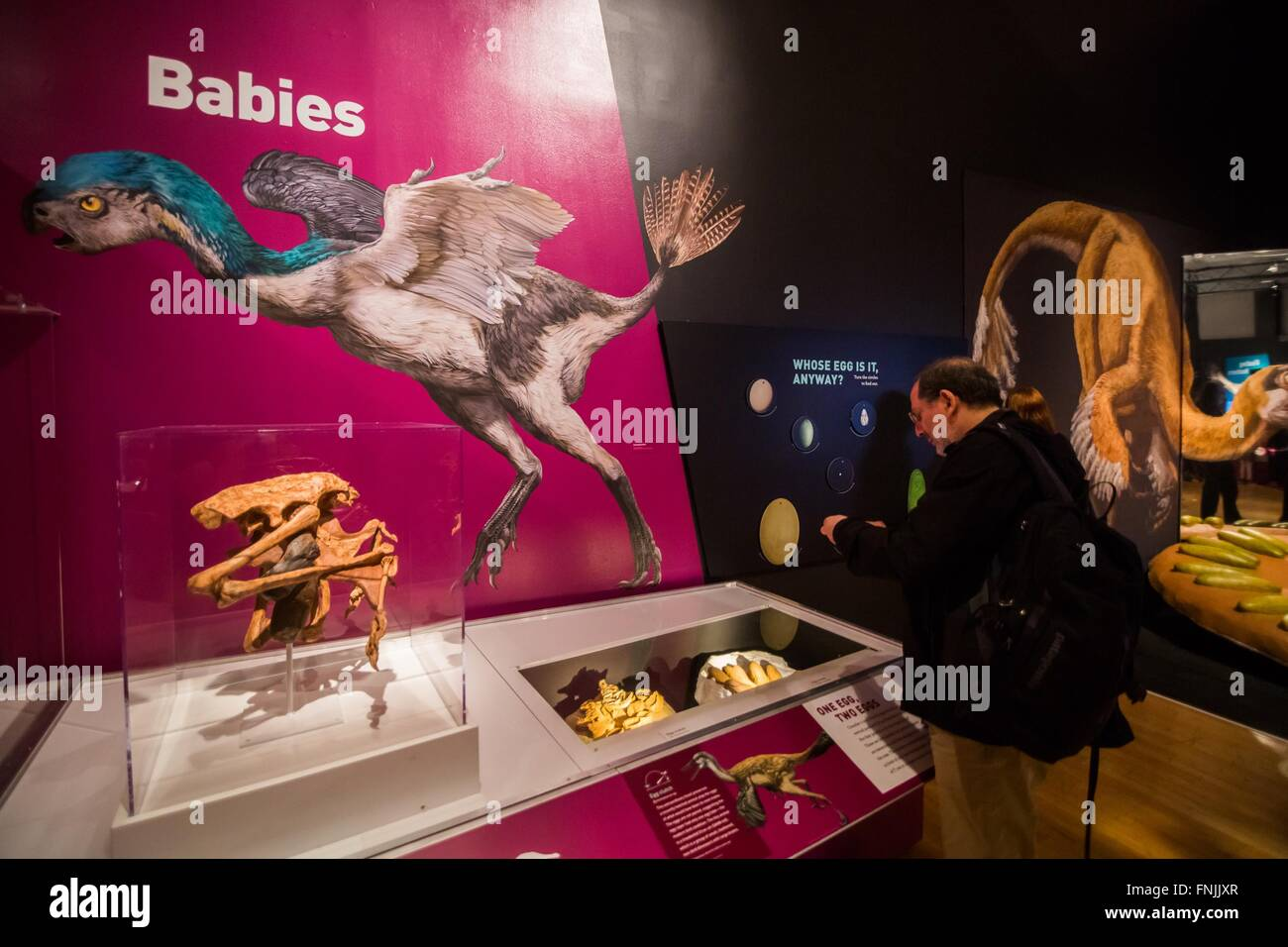 """(160315) -- NEW YORK, March 15, 2016 (Xinhua) -- A visitor looks at dinosaur fossils during the """"Dinosaurs Among Stock Photo"""