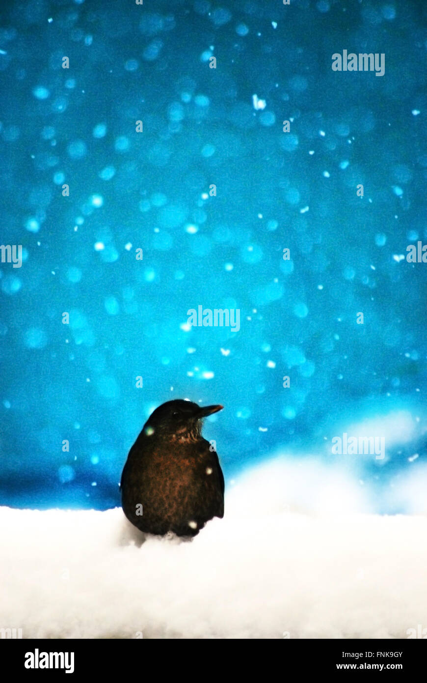 bird sitting in snow - Stock Image