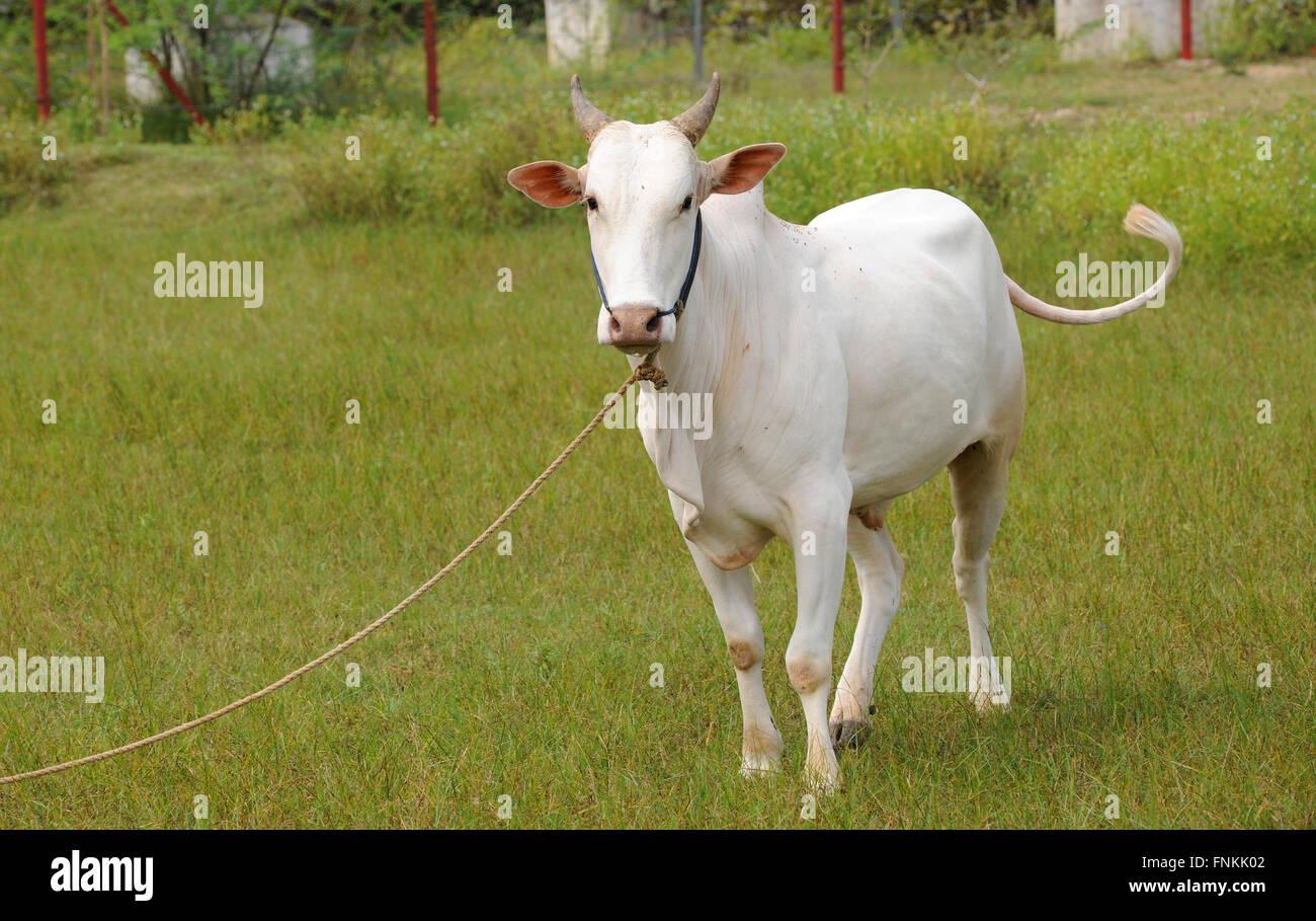 Portrait of a jallikattu bull calf bull fights is held in the villages of tamil