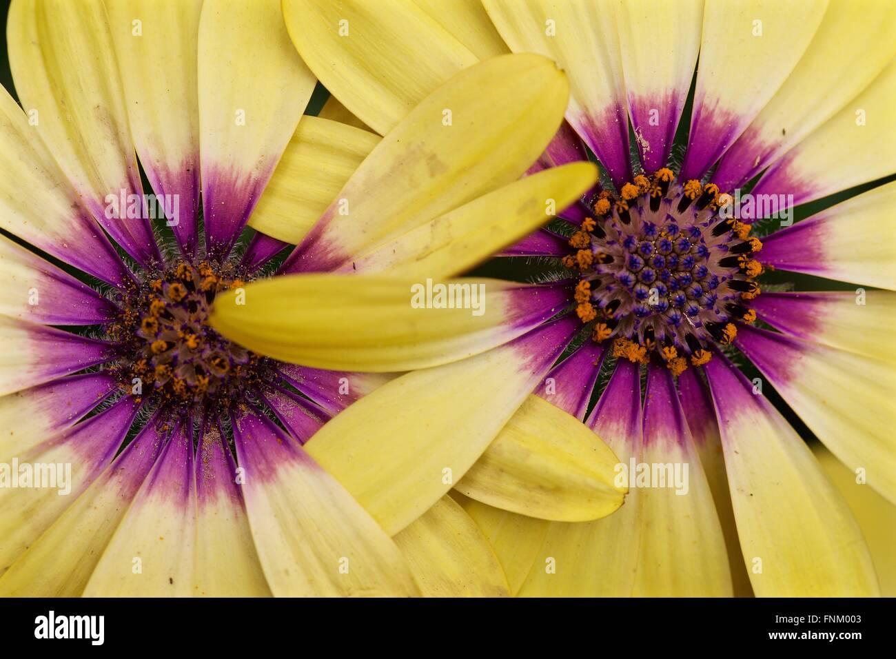 2 Yellow Flowers - Stock Image