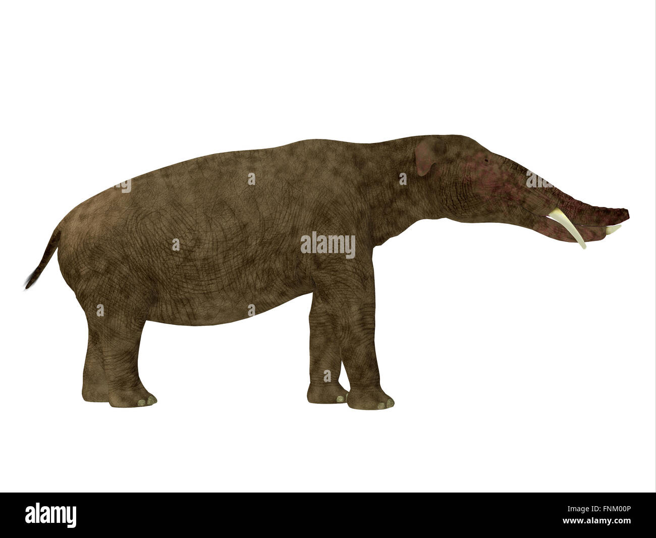 Platybelodon was a herbivorous extinct mammal related to the elephant that lived in Miocene Era. - Stock Image