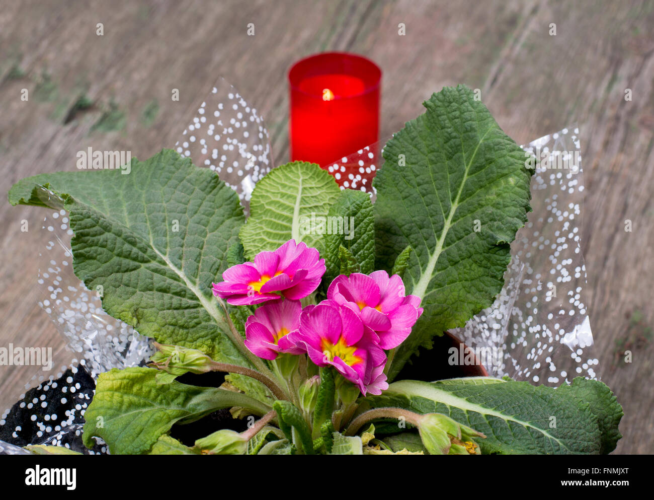 beautiful window plant and candle behind - Stock Image