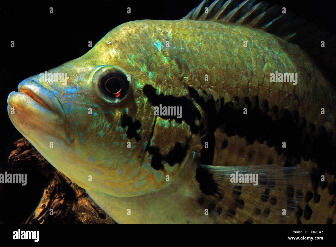 Parachromis Dovii Wolf Cichlid Stock Photo 99421511 Alamy