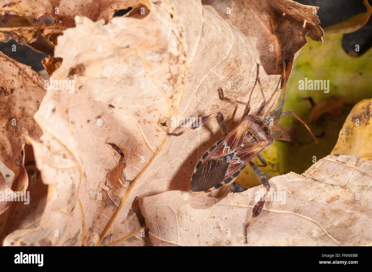 Western conifer seed bug, Leptoglossus occidentalis; native to western USA - Stock Image