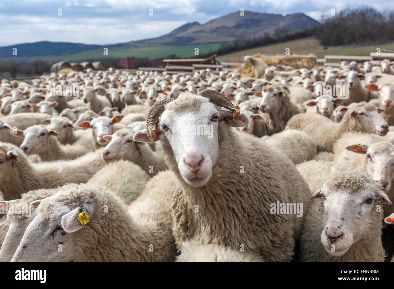 Ram amid flocks of sheep herd, the landscape of the Central Bohemian Uplands, Czech Republic - Stock Image