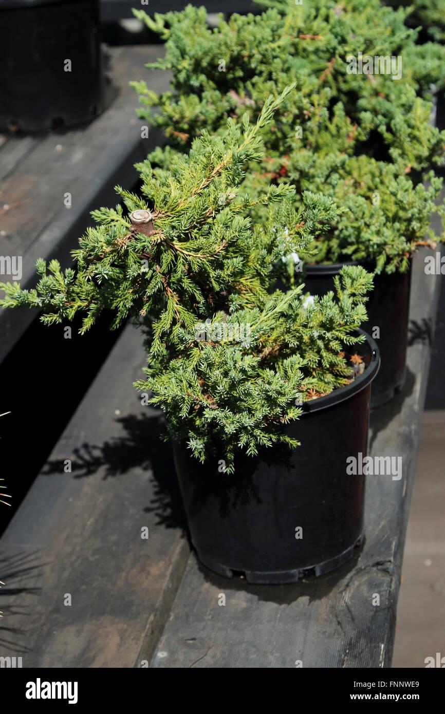 Juniperus procumbens or known as Juniper Bonsai starter - Stock Image
