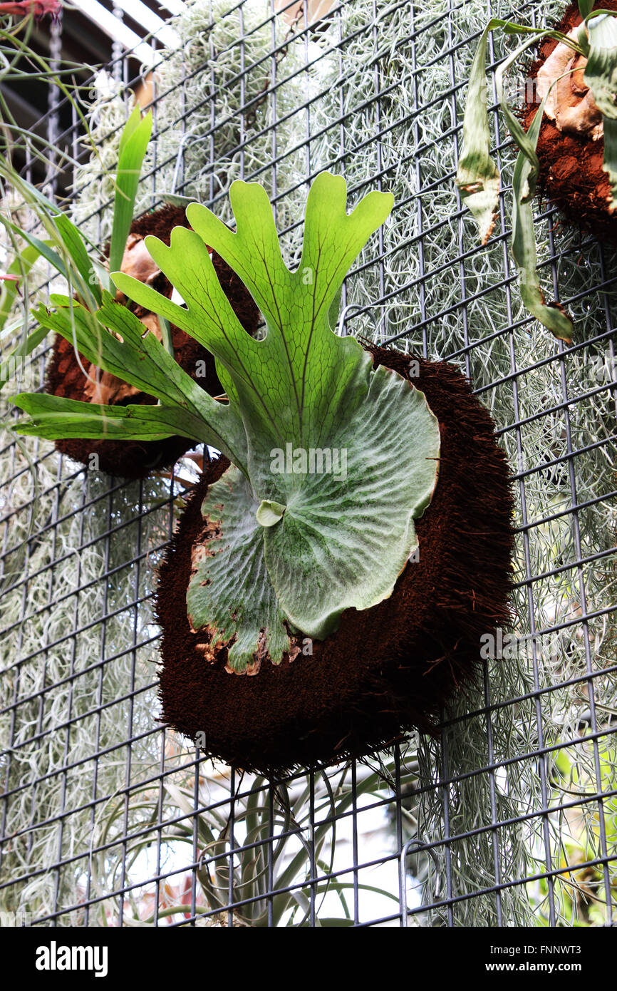 Staghorn Fern Stock Photos Amp Staghorn Fern Stock Images