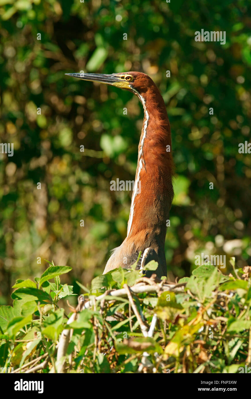 Rufescent tiger heron (Tigrisoma lineatum) looking out of the bushes, Pantanal, Brazil Stock Photo