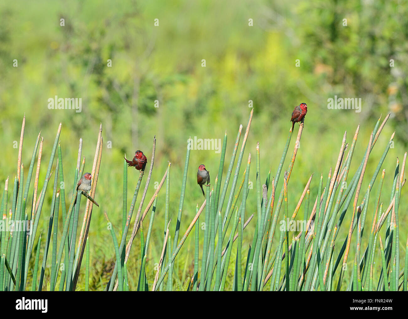 Crimson Finches (Neochmia phaeton), Fogg Dam, Northern Territory, Australia - Stock Image